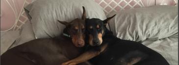 beddogs