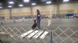 """Azotar's Incredible Too, CDX BN RAE OA OAJ XF CA CGC CGCA ETD """"DashDash"""" Owned, bred, handled by Paula Ratoza Earned the following titles in 2016 AKC Agility-Novice JWW, Open Agility, Open FAST AKC Rally-Rally Advance, Rally Excellent Tricks-Novice Trick Dog, Intermediate Trick Dog, Advance Trick Dog, Expert Trick Dog"""
